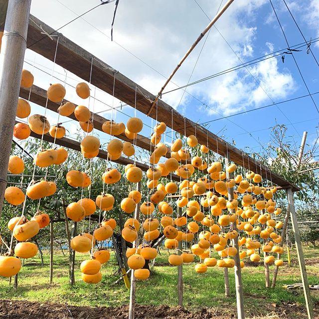 [本日も晴天(^∇^)七瀬柿を使用!その他種類も有品種により、味も食感も違います( ◠‿◠ )寒暖差もあり美味しい干し柿が出来そうです]